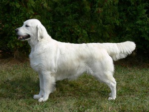 English golden retriever standard